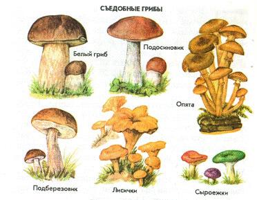 фото съедобных лесных грибов
